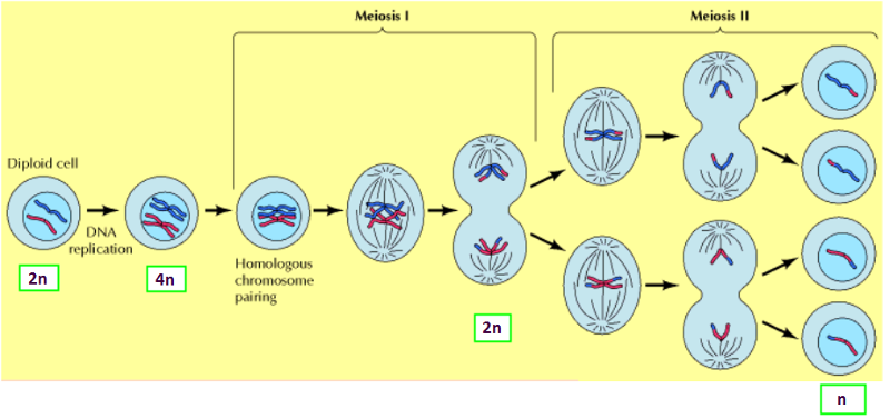 The Process Of Meiosis also Bestand Mitosis schematic diagram En further Cellular Physiology as well Spitem 1091 1 additionally 715211. on metaphase diagram labeled
